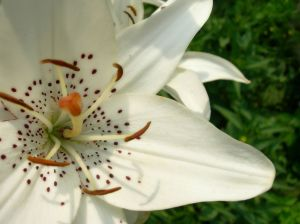 FreeRangeStock.white lily